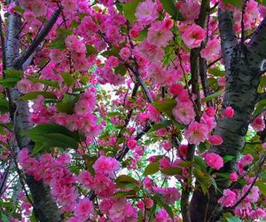blossoms, flowers, and pink image