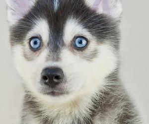 husky, blue, and dog image