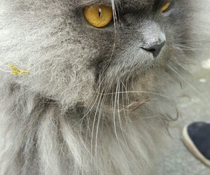 beautiful, cat, and grey image