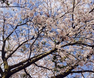 cherry blossoms, nature, and spring image