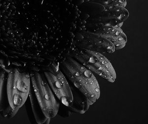 flower, black and white, and photography image