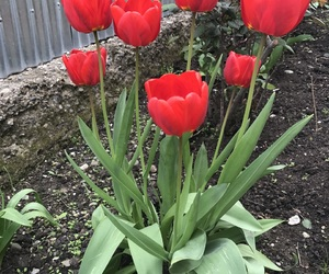 flowers, red, and tulip image