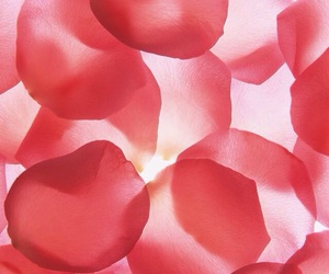 petals, red, and wallpaper image