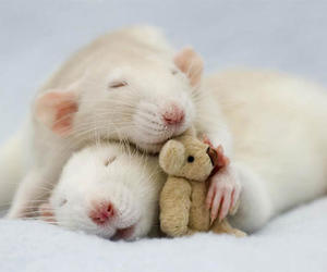 cute, rat, and mouse image