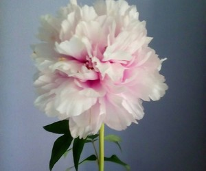 flower, pink, and peonia image