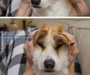 funny, awesome, and corgi image