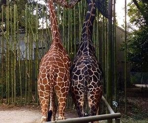 giraffes 2gether image
