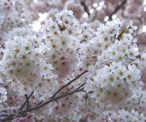 beauty, flower, and cherry image