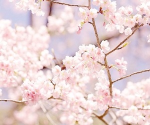 pink, sakura, and spring image