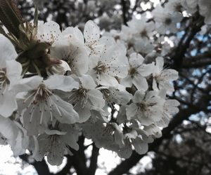blossom, cherry, and blumen image