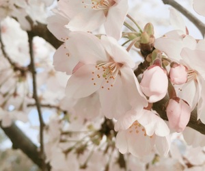 beautiful, cherryblossom, and flower image