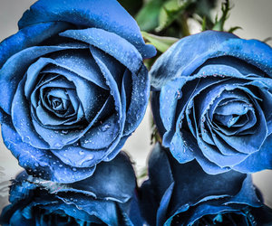 flowers, blue, and roses image
