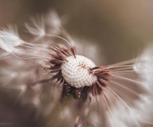 dandelion, macro, and fine art photography image
