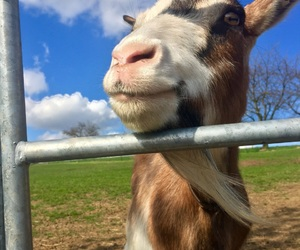 animals, friend, and goat image