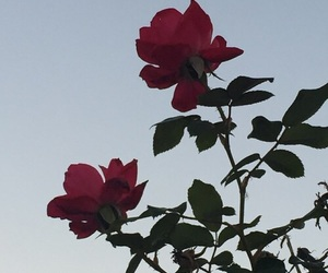 background, red, and rose image