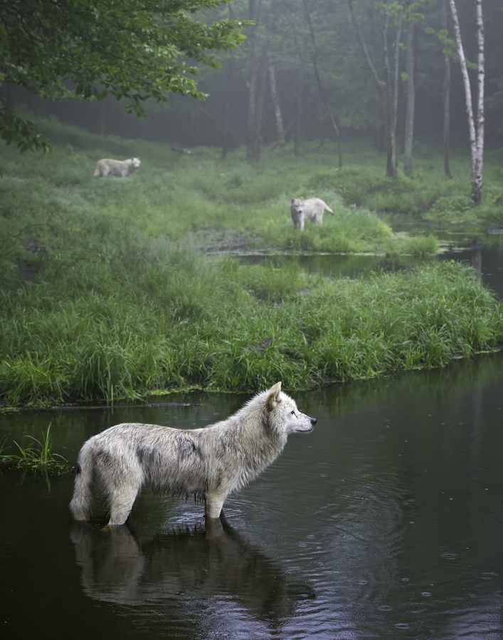 wolf, nature, and animal image