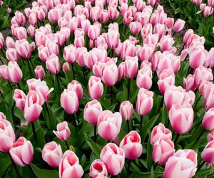 beautiful, pink, and tulips image