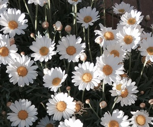 daisy, flower, and nature image