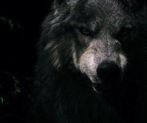 wolf, black, and dark image