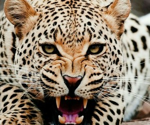 animal, wild, and leopard image