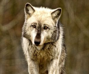 silver wolf image