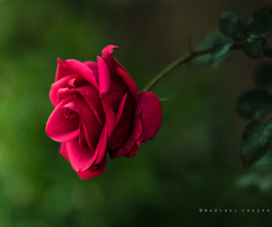 flower and rose image