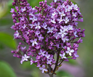 flowers, heart, and lilac image