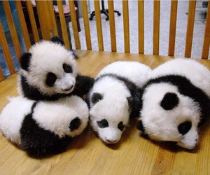panda, animals, and cute image