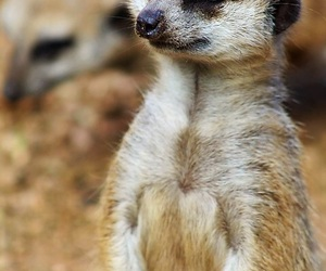 beauty, meerkat, and nature image