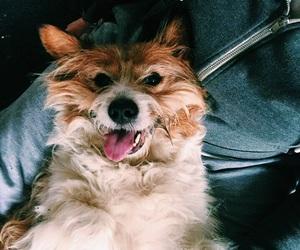 corgi, dog, and dogs image