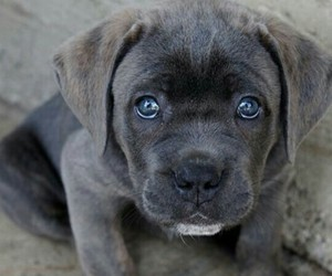 dog and cane corso image