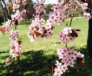 beautiful, spring, and cherry blossoms image