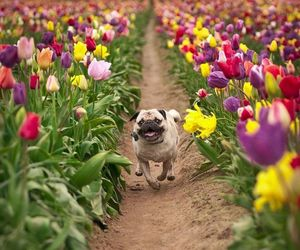 dog, flowers, and pug image