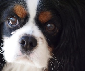 dog, pet, and cavalier image