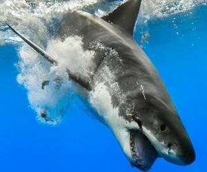 animals, sharks, and white shark image