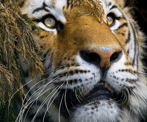 Animal kingdom, big cat, and stripes image