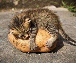 kitten, cat, and potato image