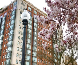 aesthetic, boston, and cherry blossoms image