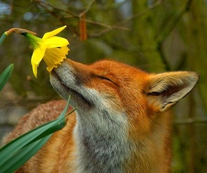 adorable, fox, and spring image