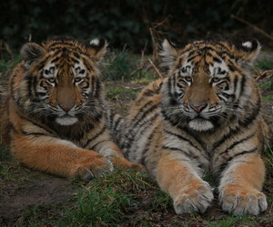 cub, tigers, and tigre image