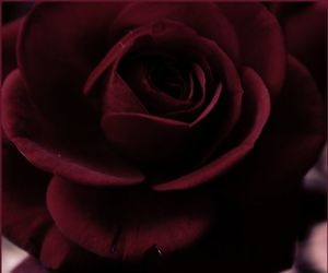 rose and burgundy image