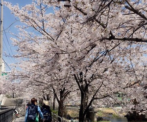 aesthetic, background, and cherry blossom image
