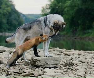wolf, animals, and fox image