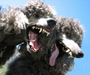 dog and poodle image