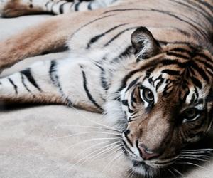 hd, wallpaper, and tiger image