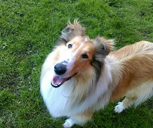 collie, lessie, and dog image