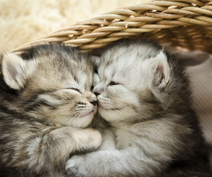 kitten, cats, and baby animals image