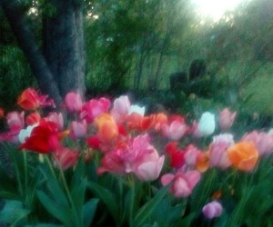 photography, tulips, and spring image