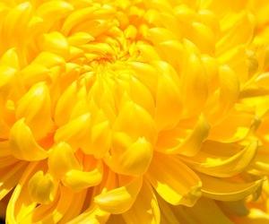 chrysanthemum, nature, and wallpaper image