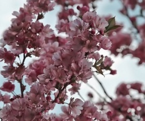 cherry blossom, nature, and flowers image